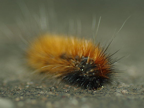 Virginian Tiger Moth (caterpillar) - Spilosoma virginica ...