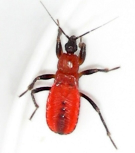 Which Red Bug Nymph ? - Melanolestes picipes