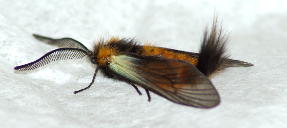 Orange and black moth - Pryeria sinica - male