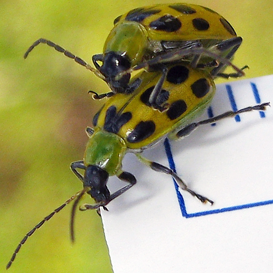 Spotted Cucumber Beetle - Diabrotica undecimpunctata - male - female