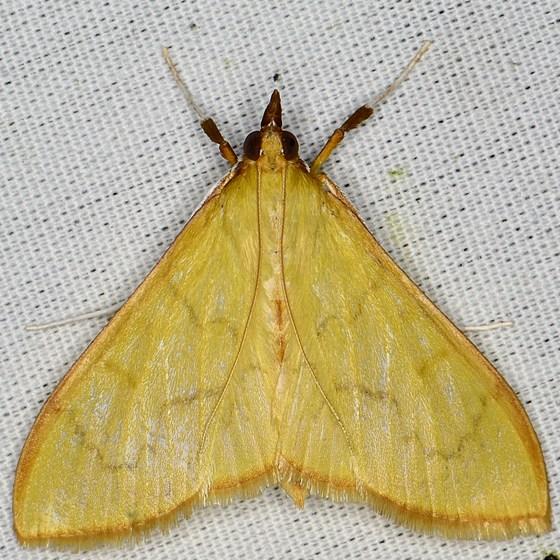 Pyraustine Crambid - Epicorsia oedipodalis