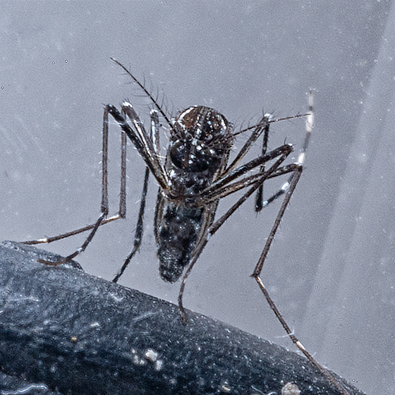 Little Mosquito - Aedes aegypti - female