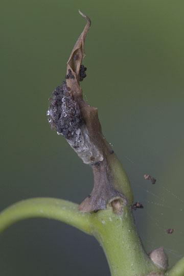 Reflective Tortyra Moth - Tortyra slossonia