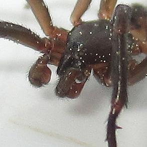 Ariadna bicolor - male