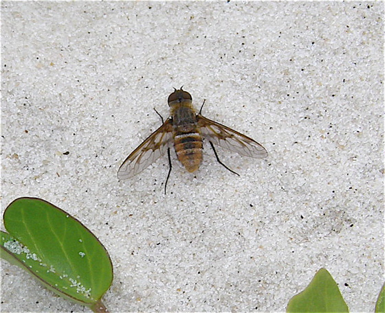 Bee Fly - Exoprosopa