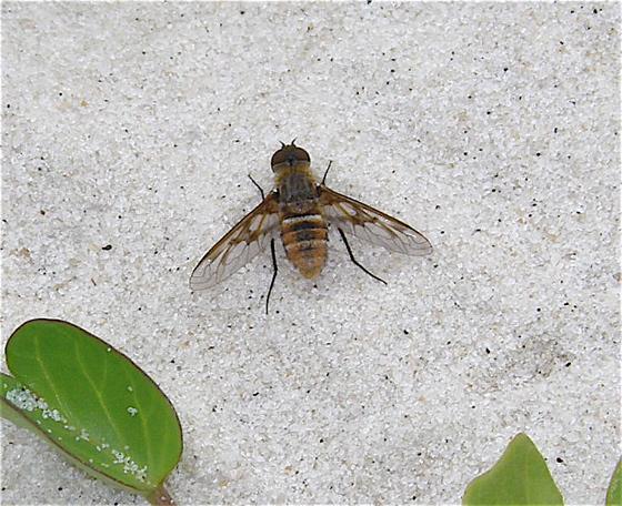 Bee Fly - Exoprosopa