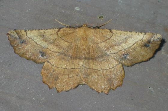 Johnson's Euchlaena Moth - Euchlaena johnsonaria