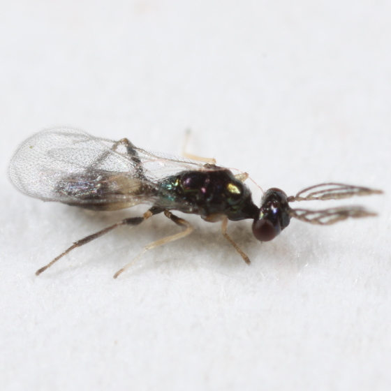 Eulophid(?) from Leucanthiza dircella mine - Sympiesis - male