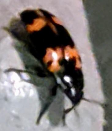 Black and Orange-Banded Winged Beetle