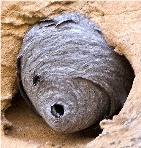 Pictures of wasp and hornets nests