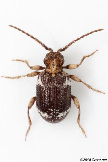Ptinus - Ptinus variegatus