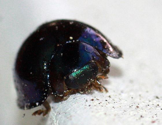 Shiny Beetle - Halmus chalybeus