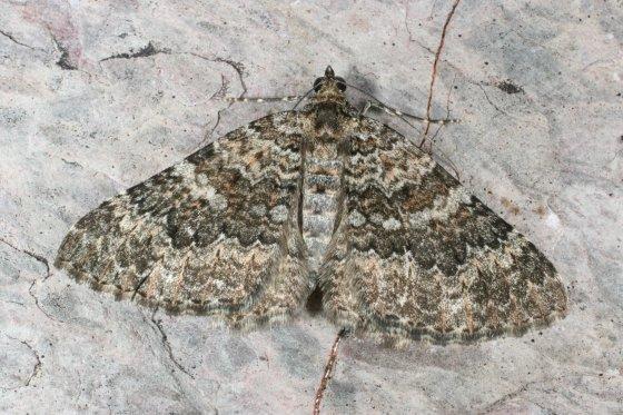 Moth C - Archirhoe neomexicana