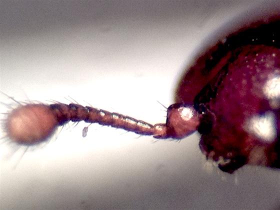 Cerylonidae, Cerylon unicolor  - Cerylon unicolor