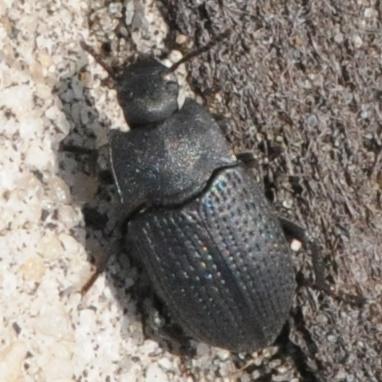Ground Beetle? - Alaetrinus minimus