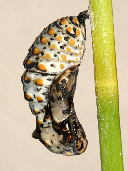 Baltimore Checkerspot chrysalis - Euphydryas phaeton