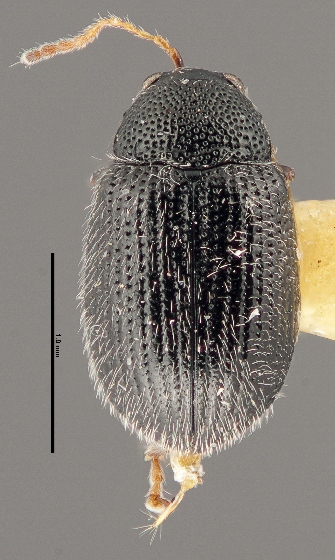 Epitrix lobata - Epitrix fuscula - female