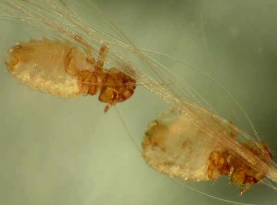Dog biting lice - Trichodectes canis