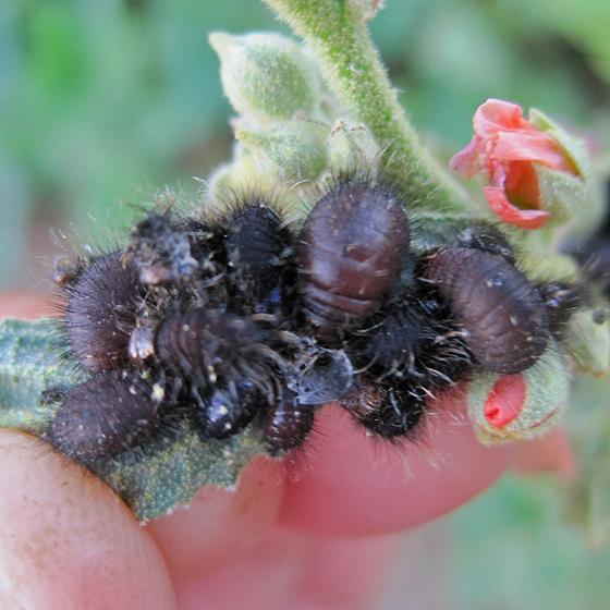 beetle larvae - Calligrapha serpentina