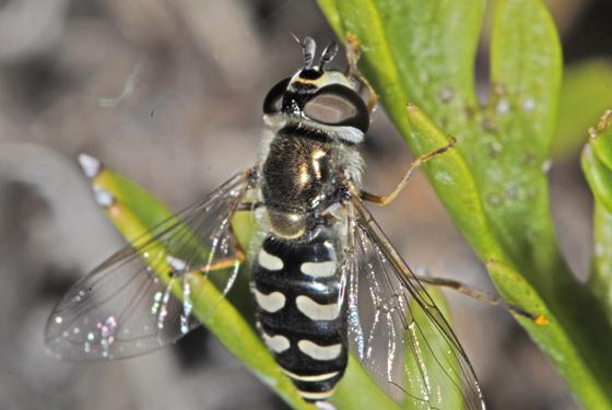 Eupeodes or Syrphus or ?? - Eupeodes volucris - female
