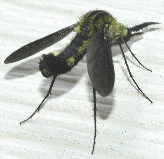 Strange Fly - Lepidophora lepidocera