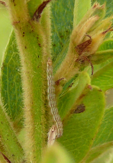 Round-headed bush clover feeder - Aristotelia roseosuffusella