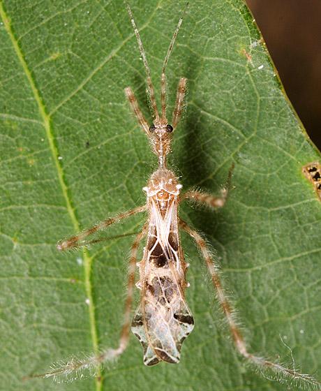 Gossamer Assasin - Stenolemus lanipes