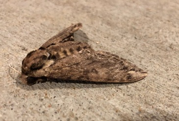 Large Brown Moth? - Ceratomia catalpae