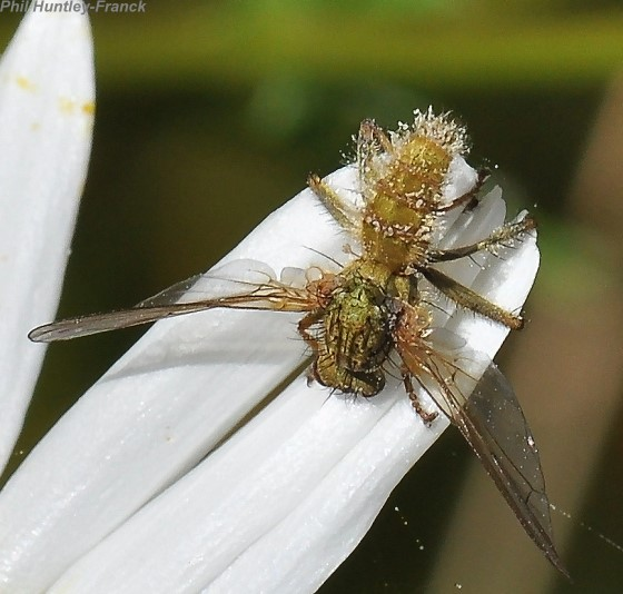 Fly with fungus - Scathophaga stercoraria