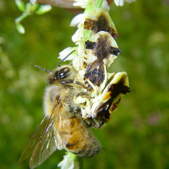 Ambush bug feeding frenzy - Phymata pennsylvanica - male - female