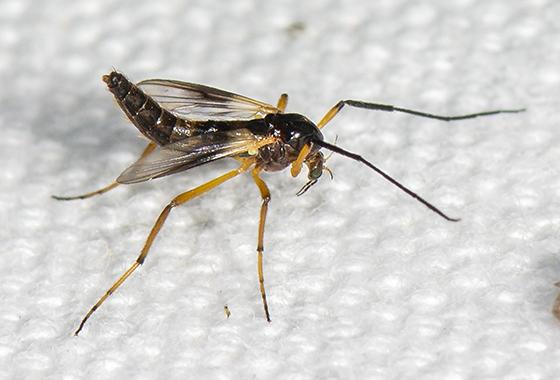 Fly ID request - Demeijerea atrimanus - female