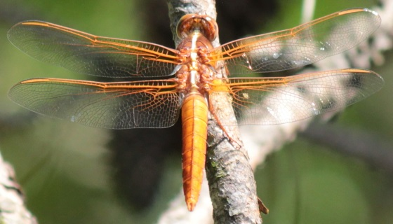 Flame Skimmer ? - Libellula croceipennis - male