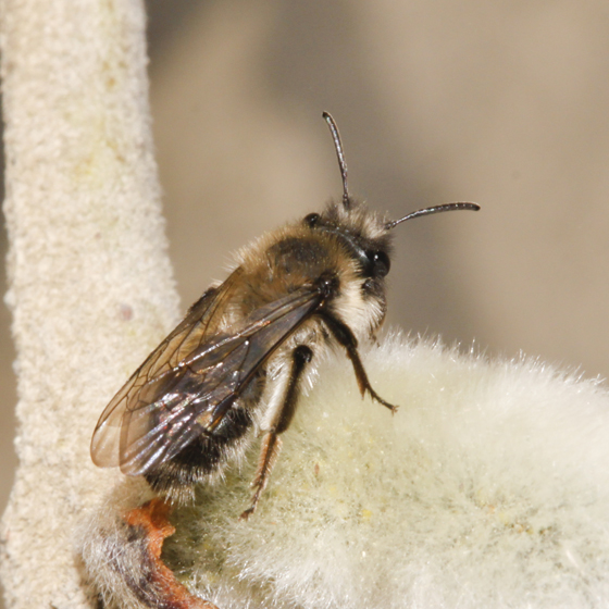 Second Bee on willow  - Andrena - female