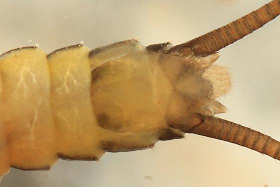 stonefly - Strophopteryx fasciata