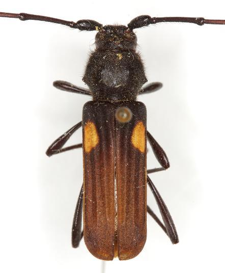 Tragidion coquus (Linnaeus) - Tragidion coquus - male