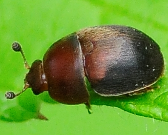 Sap-feeding Beetle Cychramus adustus - Cychramus adustus