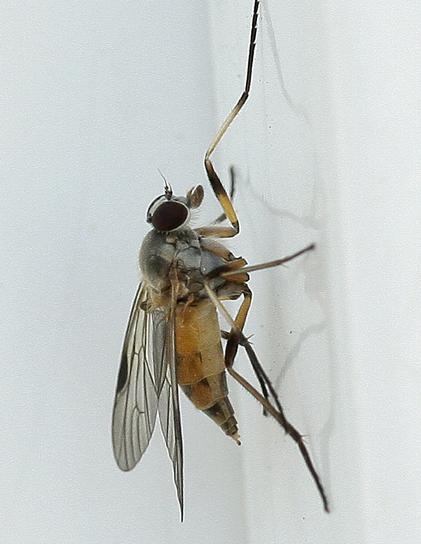 Which fly please... - Rhagio lineola - female