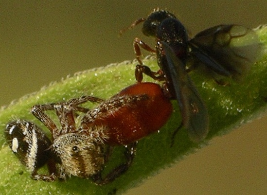 queen with red abdomen - Carebara longii - female