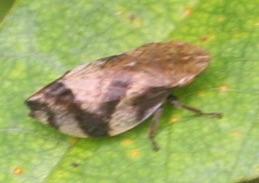 Cercopoidea - Lepyronia