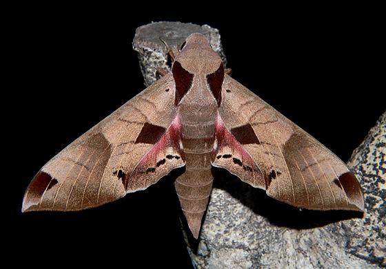 Achemon Sphinx - Eumorpha achemon - female