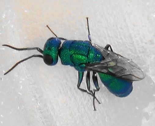 Cuckoo Wasp with Dark Belly - Chrysura sagmatis - female
