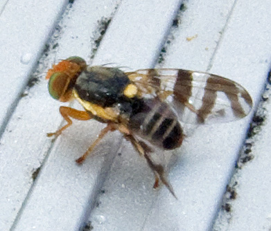Eastern Cherry Fruit Fly - Rhagoletis cingulata
