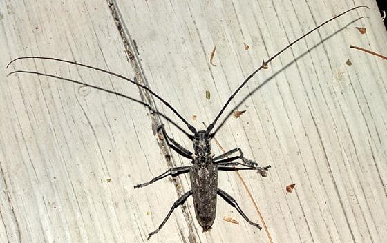 pine sawyer - Monochamus notatus