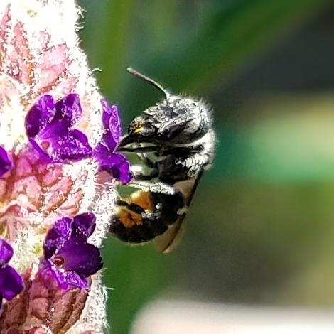 Megachilidae - female