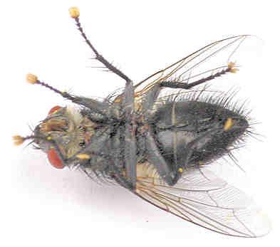 Tachinidae --? - Exorista - male