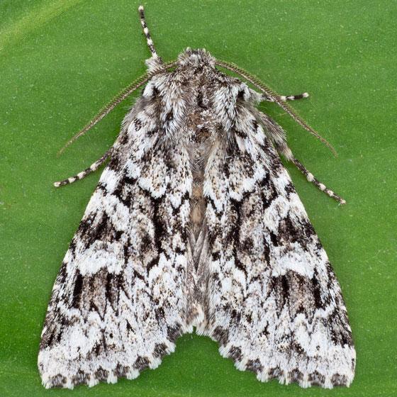 Platypolia anceps - male