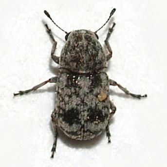 Tiny Anthribidae - Ormiscus quercus