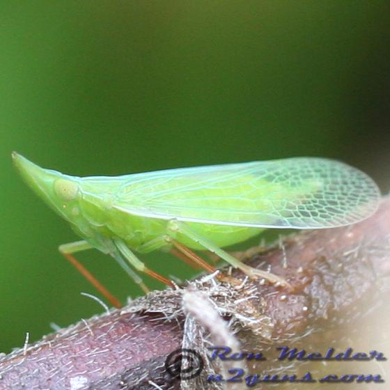 Planthopper - Rhynchomitra microrhina