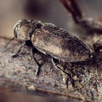 Wild buckwheat bup - Chrysobothris westcotti