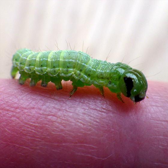 Veiled Ear Moth (Loscopia velata)   - Loscopia velata